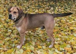 Paws for  Love  has a  2 year old mastiff cross up for adoption