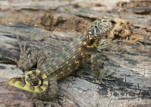 Saw scaled curly tail lizard
