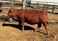 Bred Red Angus Heifer- Due June/July