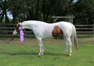 4yr old APHA gelding,  going very well under saddle
