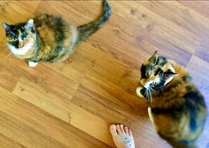 **FREE** Family of 2 Calico Cats (Spayed)