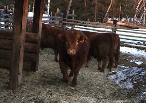 Two year old polled limo bull for sale!