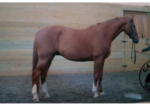 17.2 Hanoverian gelding for sale