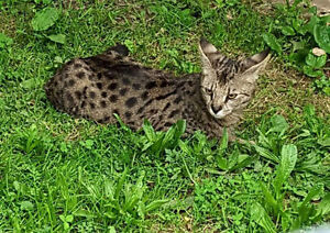 AFRICAN SERVAL HYBRYDS f2  F3  F5 and f6  ( savannah kittens)