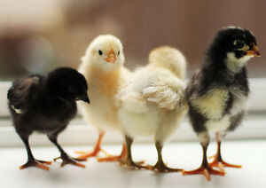 Baby Chicks for Sale!