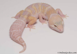 Looking for a male leopard gecko