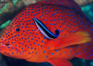 Fish Cleaner wrasses