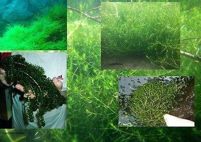 Unterwasserpflanzen Set winterharte grüne Teichpflanze Gartenteichdeko Teichdeko