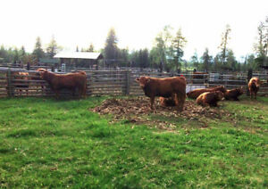 Polled Limousin Yearling Bulls for Sale!