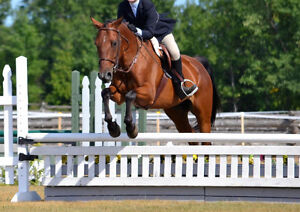 Exceptional QH X Gelding for sale. Lessons, hunters, trail ridin