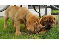 Ready Now. 1 Girl & 2 Boys Left. KC Registered Dogue De Bordeaux Puppies, Red & Black Mask.