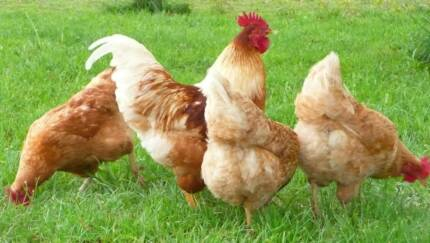 Point of lay chooks. $17 each 18 weeks old