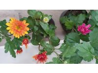 2 Autumn flowering plants - jewel coloured chrysanthemums