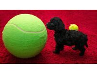 1 year old Cavapoo Female dog looking for a new home.