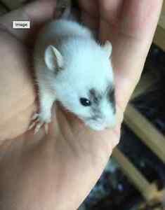 Matts Rats ARE BACK .... $10-$15 rats Kingsgrove Canterbury Area Preview
