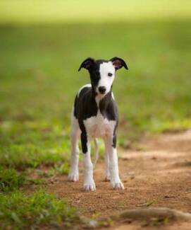 wanted whippet puppy