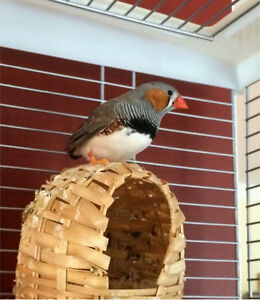 2 paired zebra finches