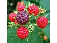 Large Garden Raspberry Canes Plant/Bush in Pot
