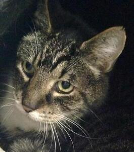 "Senior Male Cat - Tabby - Brown: ""Samuel Adams"""