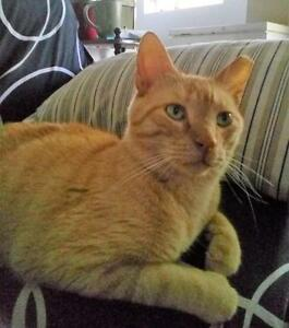"Adult Male Cat - Domestic Short Hair: ""Rusty"" Cambridge Kitchener Area image 2"