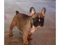 READY NOW KC Reg Beautiful Female French Bulldog Puppies