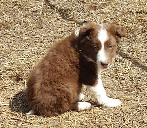 Border Collie Pup - male red and white unregistered