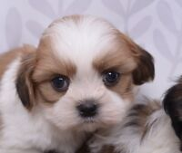 SHIH-TZU PUPPIES WITH IMPERIAL MARKINGS - 2 BOYS & 2 GIRLS