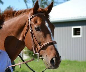 Handsome and well schooled 16.1hh  2007 OTTB gelding for sale Kingston Kingston Area image 4