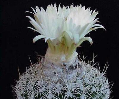 Discocactus eptacanthus cacti rare cactus seed 15 SEEDS