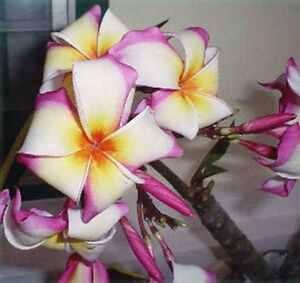 Plumeria-Plants-Flowers-sattabongkot-Fresh-50-seeds