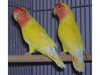 Pair of yellow peach face lovebirds
