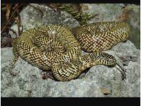 Female adult Florida king snake