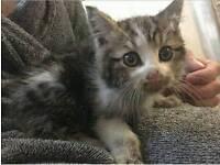 Beautiful lost kitten