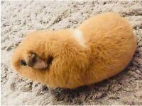 Beautiful Blonde Teddy Guinea Pig
