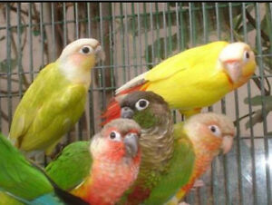 WANTED Hand Raised Green Cheek Conure Mayfield West Newcastle Area Preview
