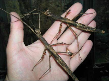 Crown Stick Insect Eggs Ryde Ryde Area Preview