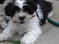 Male Havanese Puppy Vaccinated and dewormed
