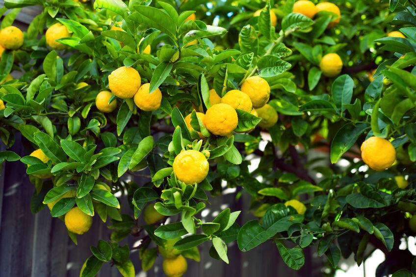 How to care for a meyer lemon tree ebay for Lemon plant images
