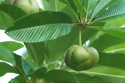 Der Rosenbaum hat markante grüne Blätter und riesengrosse weisse Blüten.
