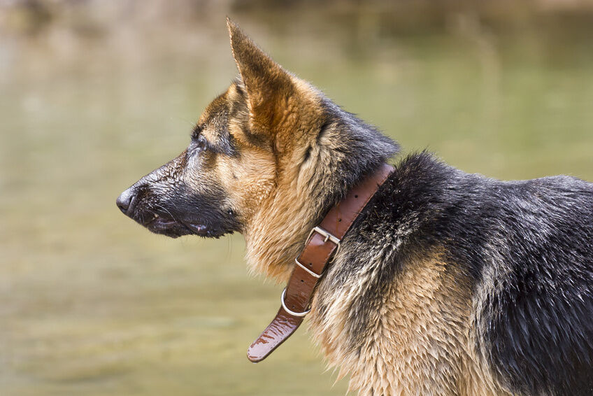 Your Guide to Sizing and Fitting a Dog Collar