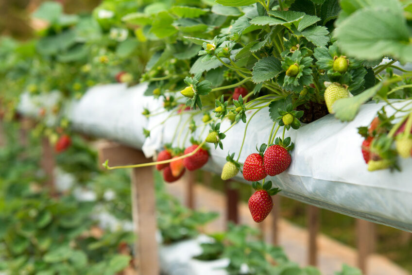 how to grow strawberry plants ebay. Black Bedroom Furniture Sets. Home Design Ideas