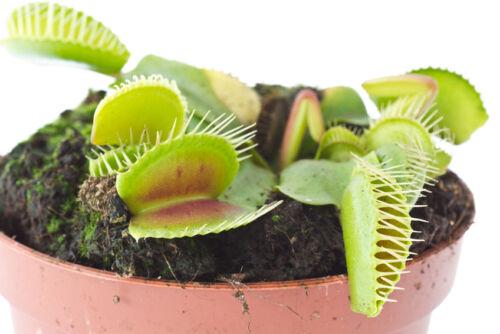 Achtung, bissig! Fleischfressende Pflanzen bei eBay entdecken