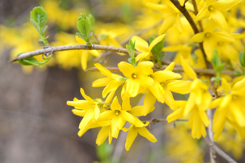 How To Propagate Forsythia From Cuttings Ebay