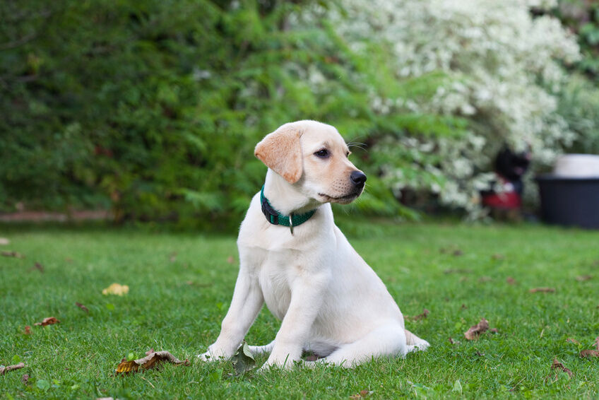 Best Dog Training Collar For Labs