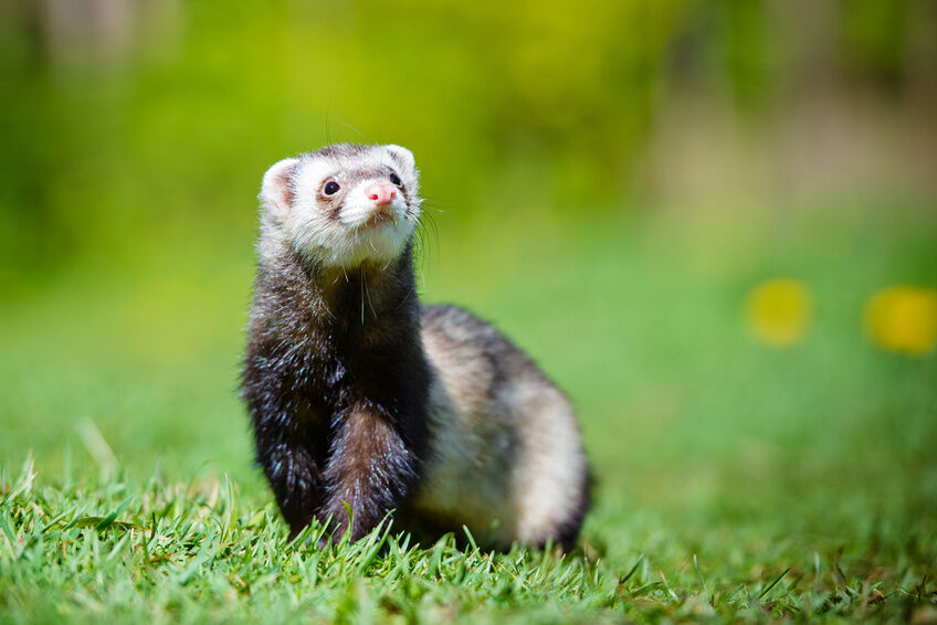 What to Consider When Buying a Ferret