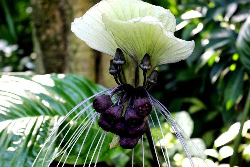 Fledermaus Blume exotische Blüten Samen Sämereien Zimmerpflanze Terrasse  Balkon