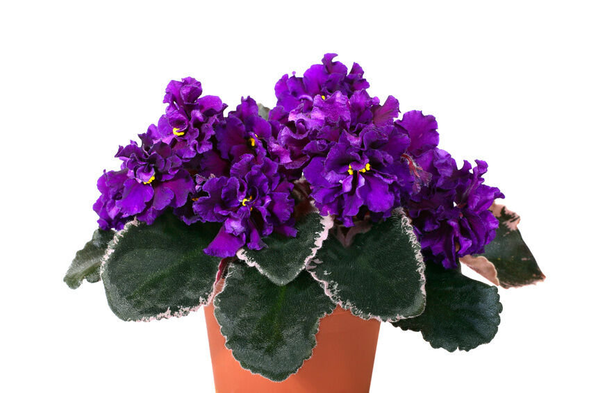 10 steps to propagate african violets - African Violets