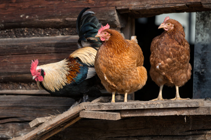 What to Consider When Buying a Used Chicken House