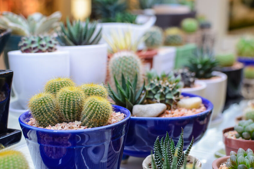 How to Care for Your Cactus
