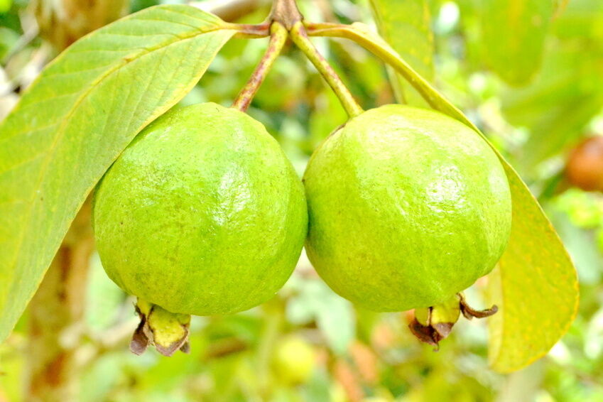 How to Plant Guava Trees